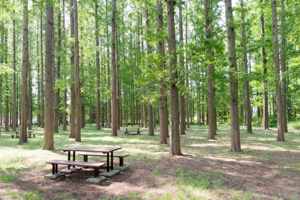 新緑のメタセコイア並木(WBオートで撮影)
