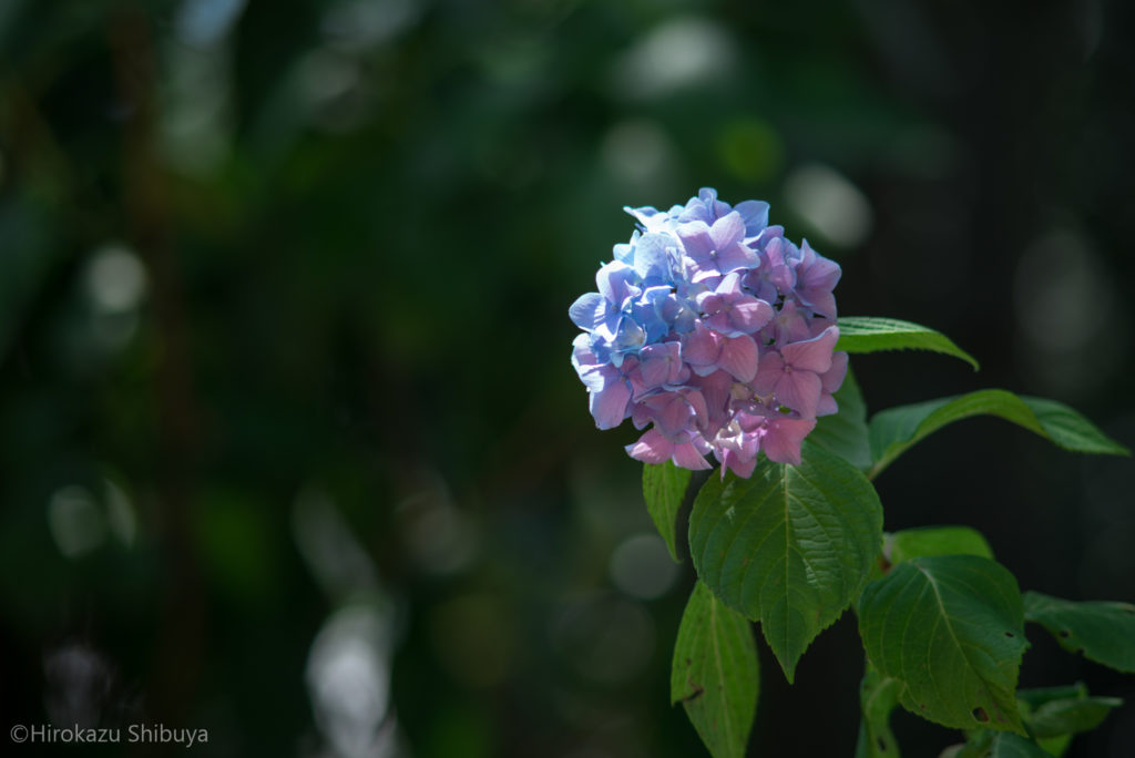 青と紫のツートンカラーのあじさい