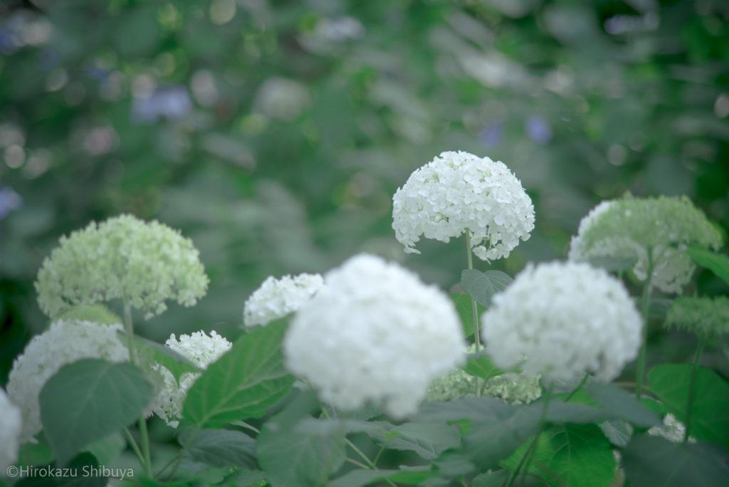 白いあじさい(撮影地:八景島 - 神奈川県横浜市)