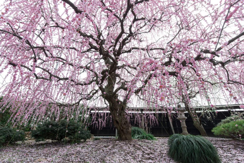 冬(12月、1月、2月)の写真撮影におすすめ被写体~梅~
