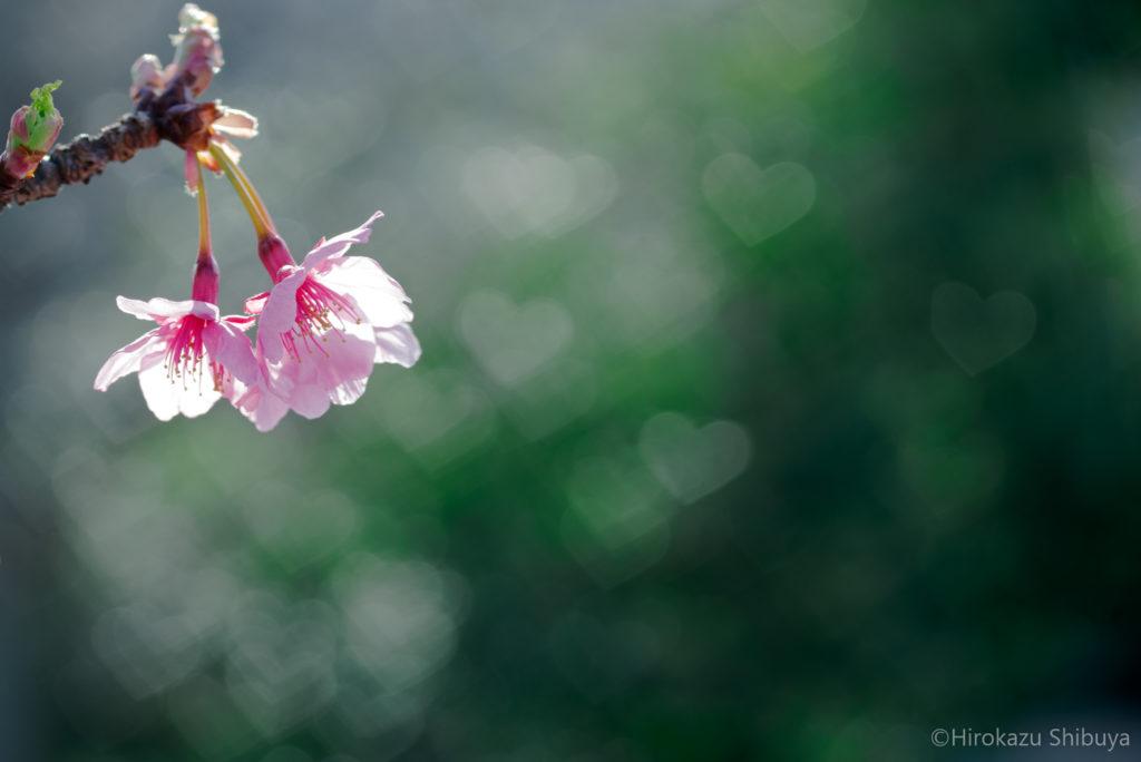 冬(12月、1月、2月)の写真撮影におすすめ被写体~河津桜~