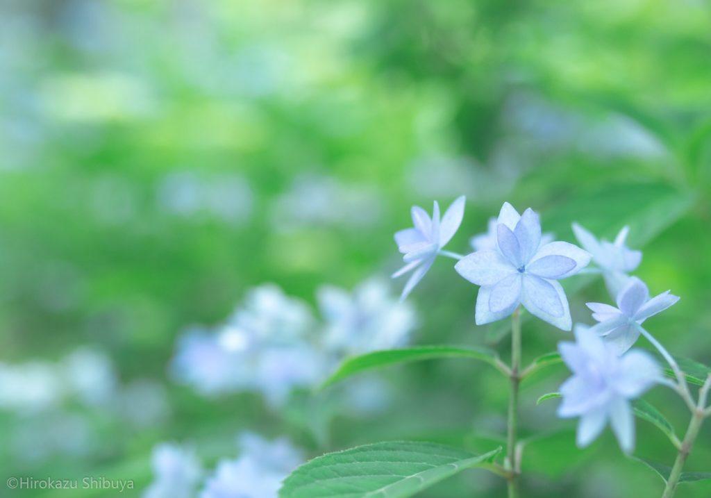 星形の花を付けるあじさい…通称「ホシアジサイ」(撮影地:三千院 - 京都府京都市)